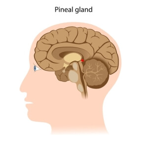 pineal-gland-2-shutterstock-157672199-WEBONLY