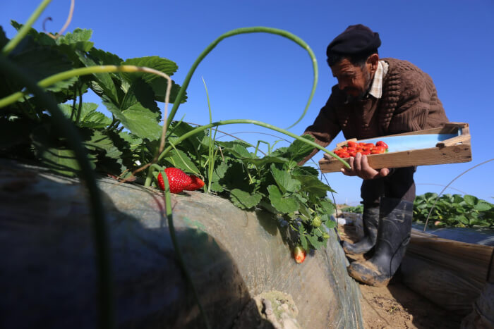 Strawberry harvest continues in Gaza Strip, Palestine