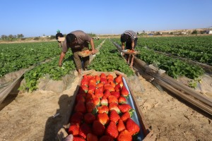 Gaza Strawberry Harvest. Photo Copyright (C) 2015 Mohammed Asad. All Rights Reserved. Permission to republish given with full credit to Mohammed Asad and The Arab Daily News.