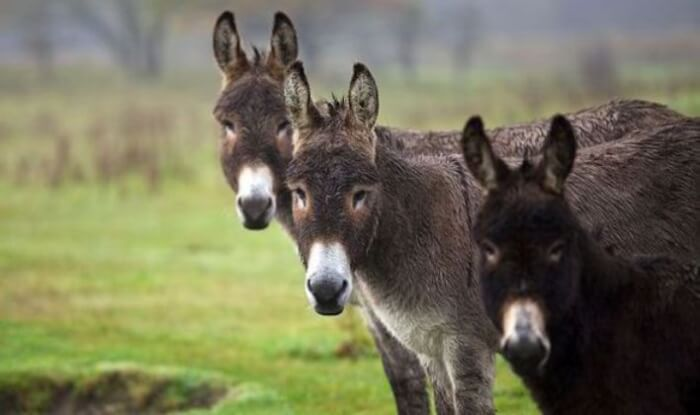 Palestinian Donkeys that have Kinship to London !!!