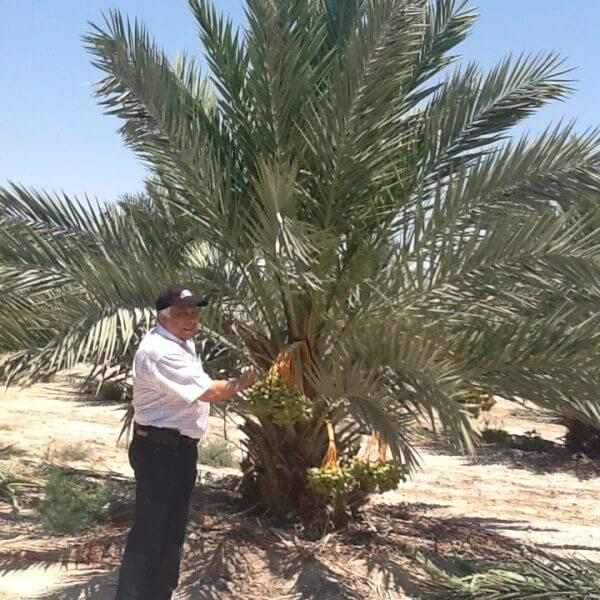 Harvesting Medjool Dates at Ziyad Brothers Importing's farm in Jericho, Palestine