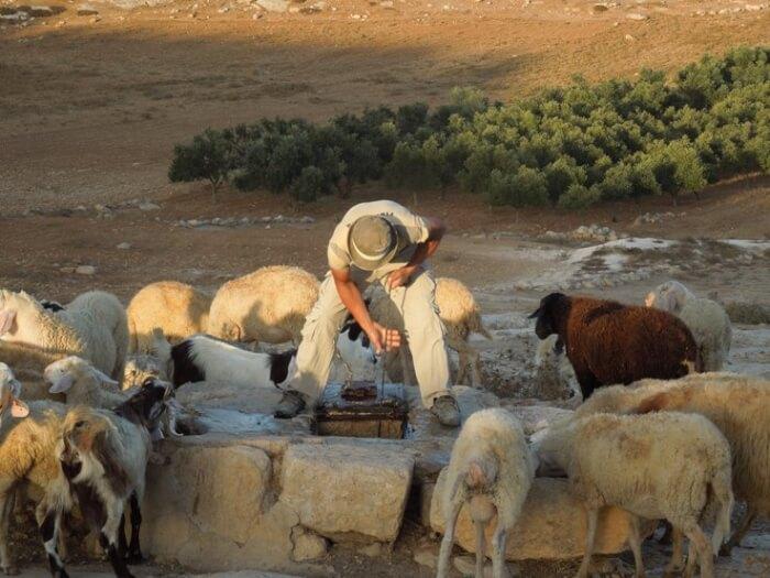 Palestinian watering sheep