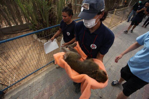 A member of Four Paws International team carries a sedated monkey before it is taken out of Gaza, at a zoo in Khan Younis in the southern Gaza Strip August 23, 2016. Gaza Zoo rescue. Photo by Mohammed Asad, 2016 All Rights Reserved