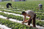 Gaza Life in Photos, strawberry harvest begins