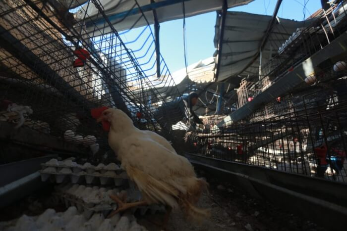 Extensive damage caused to a chicken farm int he Gaza Strip following an assault by Israeli soldiers Feb. 6, 2017. Photo copyright Mohammed Asad. All Rights Reserved.